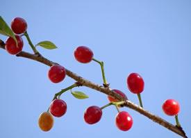 一组红彤彤的樱桃图片欣赏