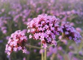 一组紫色花丛图片