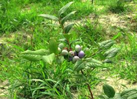 一组青涩的还未成熟的蓝莓图片