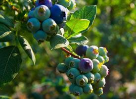 一组渐渐成熟了的蓝莓图片欣赏