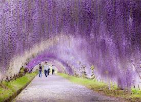 日本北九州河内藤园的紫藤隧道,太美了