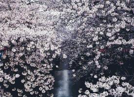 一组美丽梦幻的樱花图片