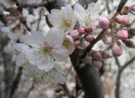 一组唯美清新的樱花图片欣赏