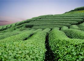 一组美丽的绿色茶园高清壁纸图片