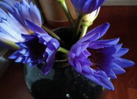 一组美丽清香的紫色睡莲图片