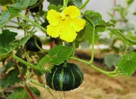 一组小小的成熟的南瓜图片欣赏