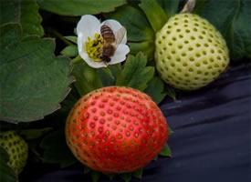 草莓羞红着脸,百目相望的图片