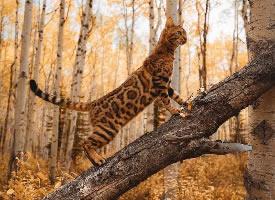 一组霸气威风的孟加拉豹猫图片