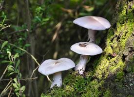 一组白色干净的小蘑菇图片欣赏
