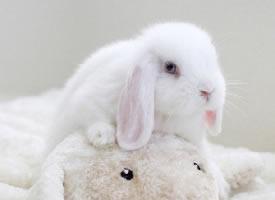 超萌蓝眼睛的荷兰垂耳兔Booboo