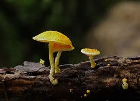 一组可爱黄色小蘑菇图片欣赏