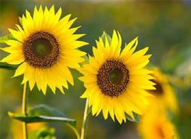 一组葵花朵朵开~能量自然来
