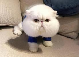 一组白色的大脸猫图片欣赏