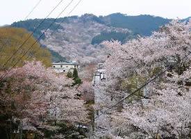 正是樱花当令的季节,樱花盛放如十里锦绣