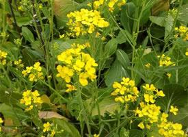 菜地里阳光满满的小菜花图片欣赏