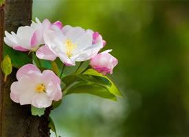 花色艳丽,花姿娇柔优美的海棠花