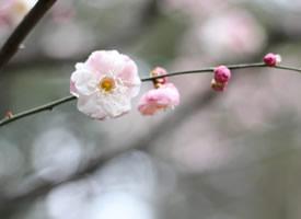 一组盛开着粉色梅花图片欣赏