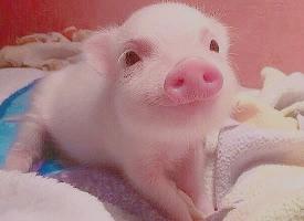 一组萌萌哒的小猪图片