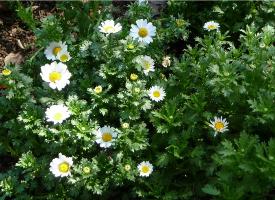唯美的甘菊花丛图片