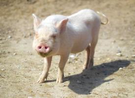 一组憨态可掬的小猪图片欣赏