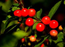 成熟的红色毛樱桃图片欣赏