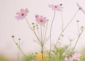 清新花朵图片摄影手机壁纸