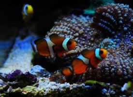 水中的小丑鱼图片