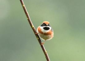 娇小可爱的红头长尾山雀图片