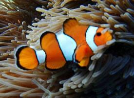 绚丽的小丑鱼图片
