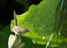 小巧玲珑的长尾缝叶莺图片
