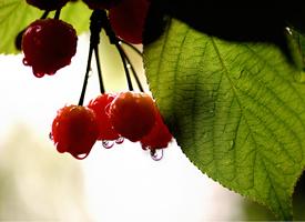 下过雨后还留有水滴的樱桃图片欣赏