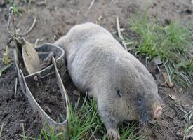 一组可爱的草原鼢鼠图片欣赏
