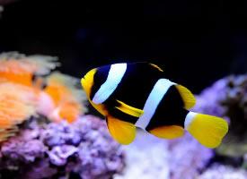 太平洋双带小丑鱼图片