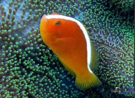 印度洋银线小丑鱼图片