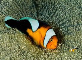 透红小丑鱼图片