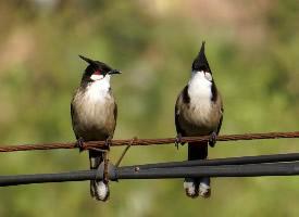 野生红耳鹎鸟类图片