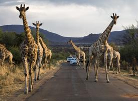 庞大的野生动物长颈鹿和野象