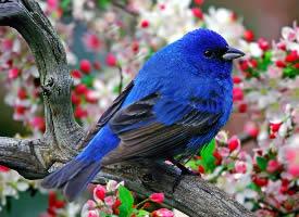 知更鸟清晰唯美壁纸图片
