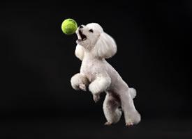 一组白色可爱的贵宾狗狗图片欣赏