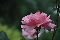 粉色月季花图片素材