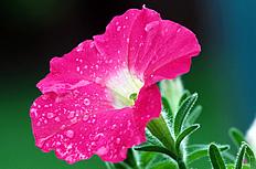 紫红牵牛花图片