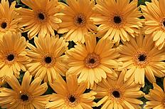 唯美太阳花图片