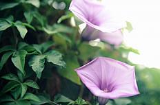 紫色牵牛花高清图片