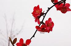 红色木棉花高清图片