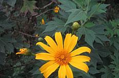 黄色小太阳花高清图片