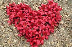 红色心形木棉花高清图片