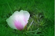 粉白色太阳花高清特写图片