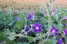 矮紫色牵牛花高清图片
