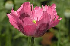 红色的罂粟花高清图片