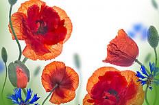 红色罂粟花图片素材
